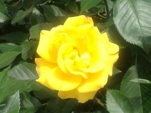黄色いバラ_n