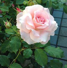 PINKの薔薇_n