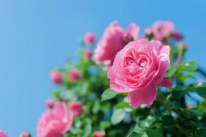 ピンクのバラ_n
