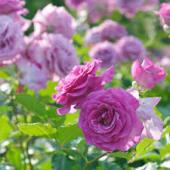 紫の薔薇5
