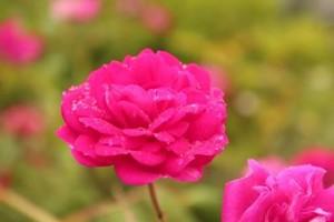 須澤さんの薔薇n
